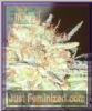 Emerald Triangle Cotton Candy Cane Fem 5 Seeds